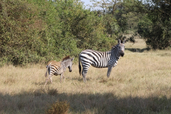 How do you identify the young zebras? They are short and have brown stripes.