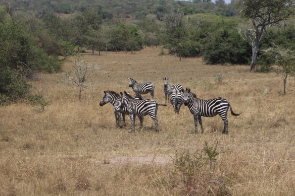 How do you know which zebra is male? He is the first one in the herd to stop and look back at us, and usually the last one in the group.